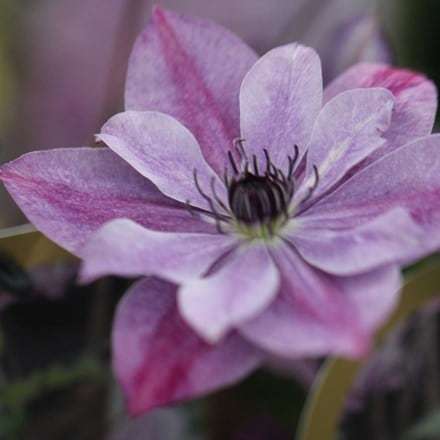 Clematis Super Cute ('Zo09122') (PBR)