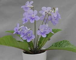 Streptocarpus in a ceramic gift pot