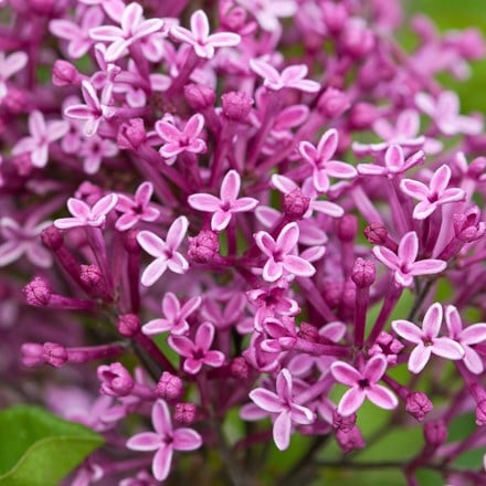 Syringa Bloomerang Dark Purple ('SMSJBP7')