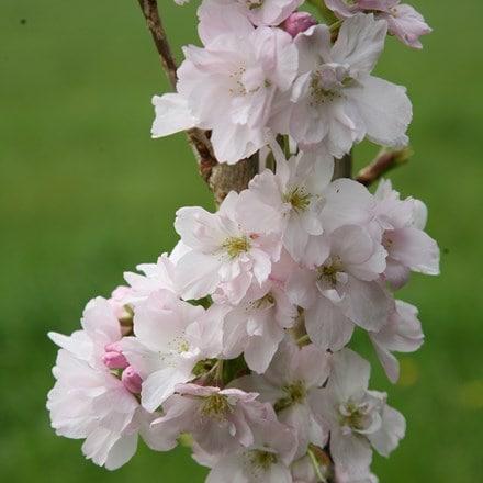 Prunus Amanogawa