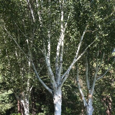 Betula utilis var. jacquemonti