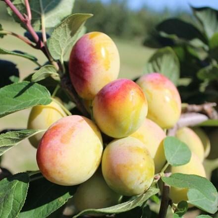 plum Aprimira (miracot)