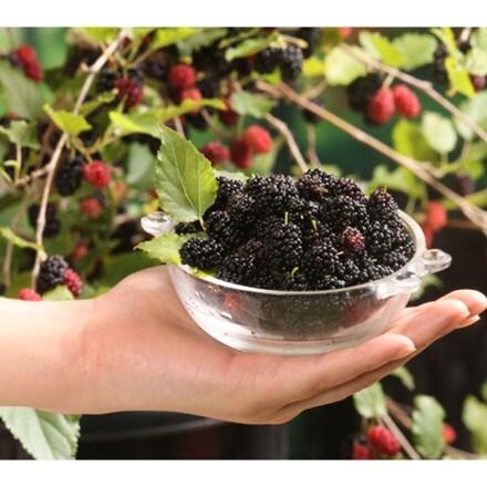 Morus rotunbiloba Mojo Berry ('Matsunaga') (PBR)
