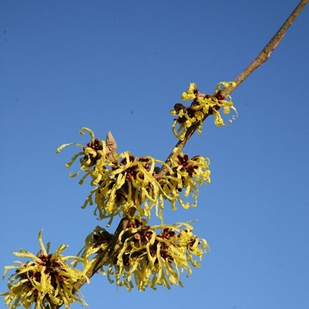 Hamamelis × intermedia Pallida