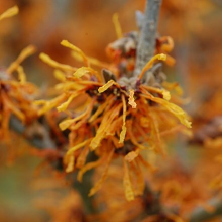 Hamamelis × intermedia Aphrodite