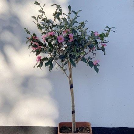 Camellia sasanqua half standard (50cm stem)