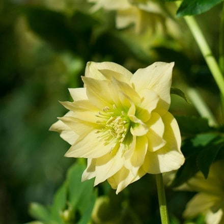 Helleborus × hybridus Harvington double yellow