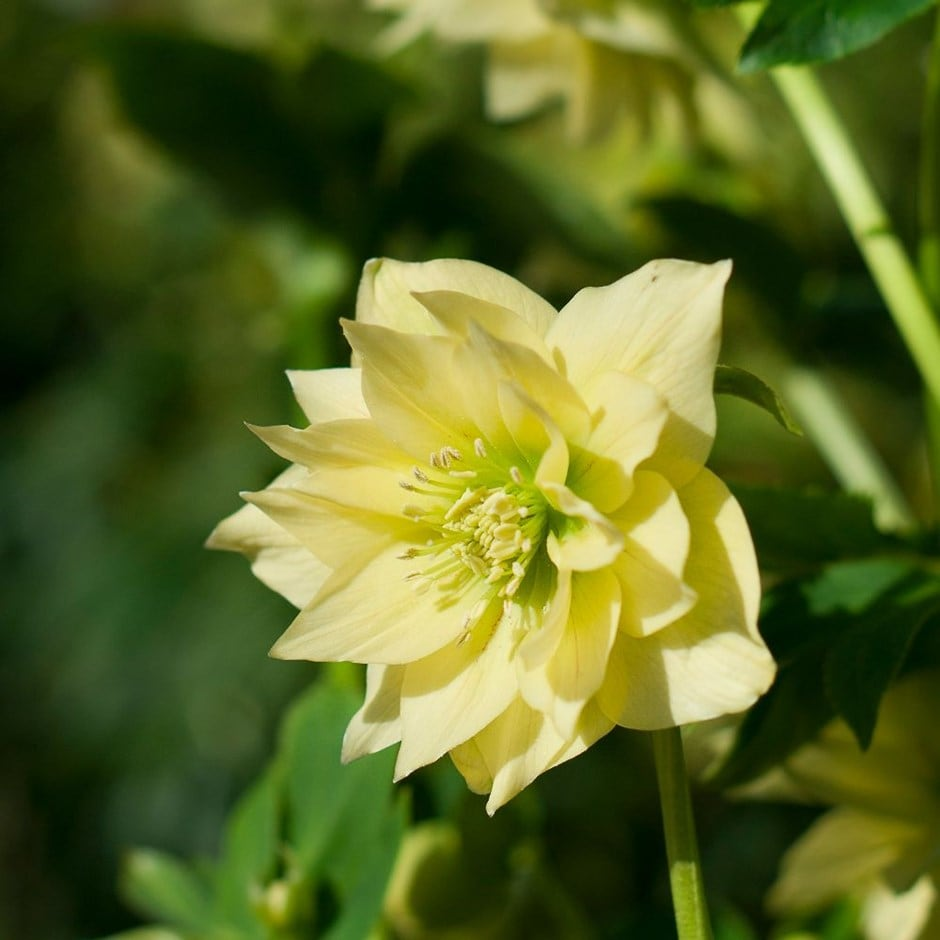 <i>Helleborus x hybridus</i> Harvington double yellow