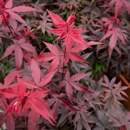 Acer palmatum Twombly's Red Sentinel