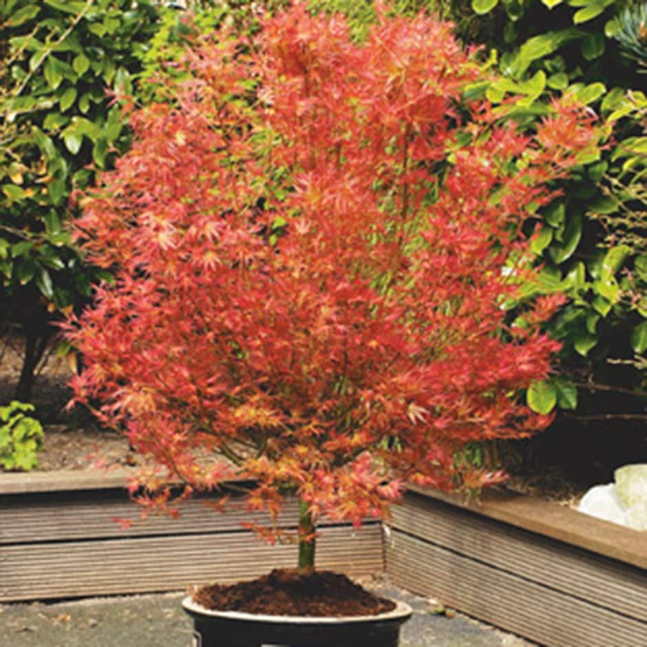 Buy Japanese Maple Acer Palmatum Wilson S Pink Dwarf Delivery