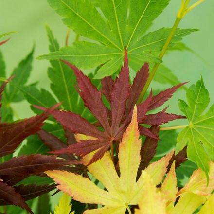 Acer palmatum Festival