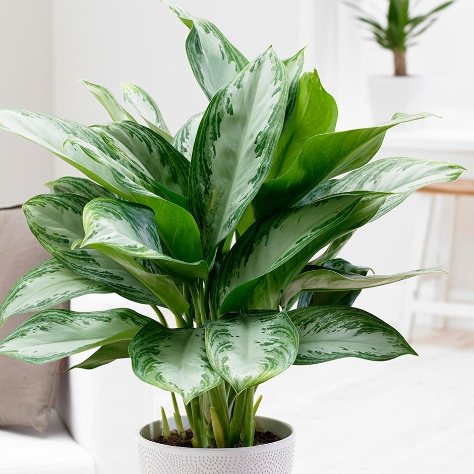 Buy chinese evergreen aglaonema 39 jubilee compacta pbr 39 delivery by waitrose garden in - Hardy office plants ...