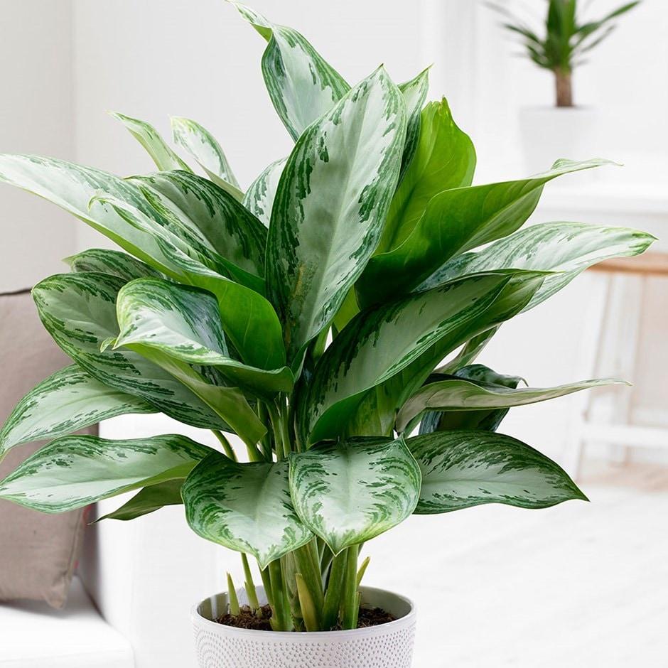 Buy Chinese Evergreen Aglaonema Jubilee Compacta Pbr 163