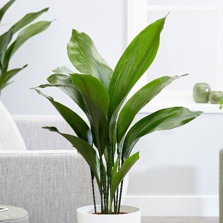 Buy Indoor Plants By Waitrose Garden