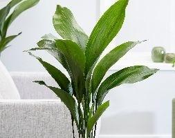 aspidistra / cast iron plant