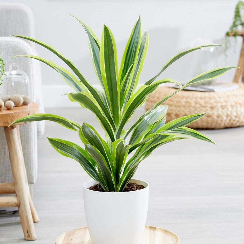 Buy dragon plant dracaena fragrans 39 deremensis group for Buy a lemon tree plant