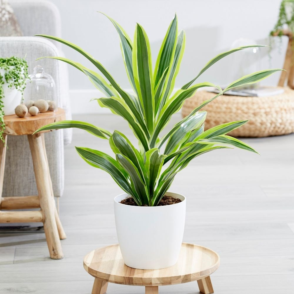 buy dragon plant dracaena fragrans deremensis group lemon lime delivery by crocus. Black Bedroom Furniture Sets. Home Design Ideas