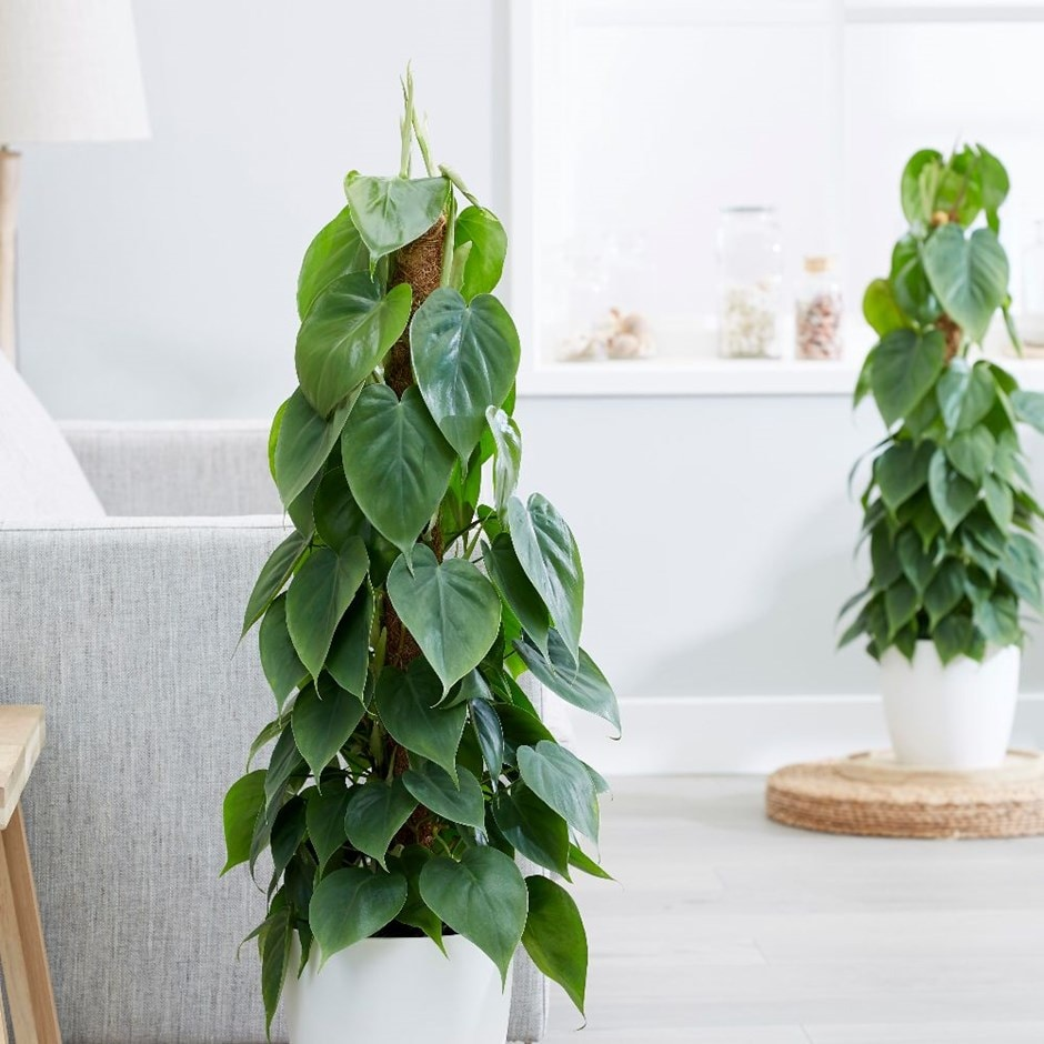 Buy Heart Leaf Philodendron Scandens 163 32 99 Delivery By