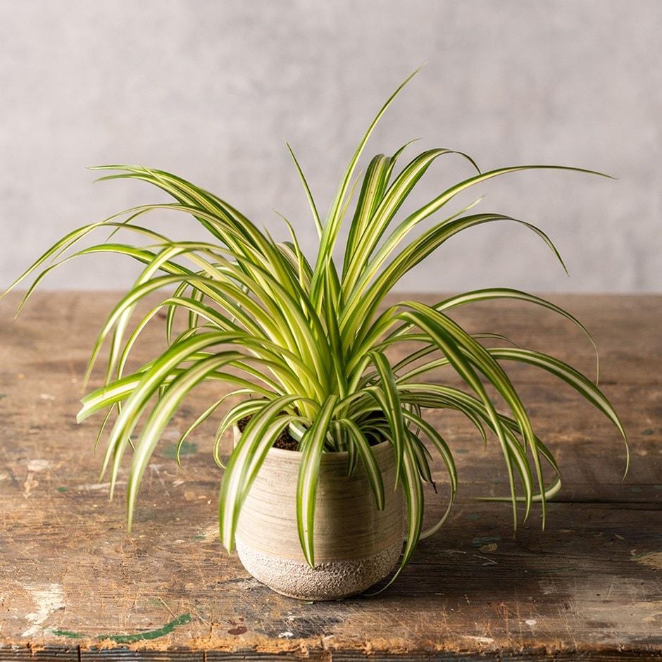 Grünpflanzen Green Plants Zimmerpflanzen: Buy Variegated Spider Plant Chlorophytum Comosum