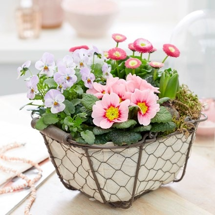Garden trug with pink spring flowers