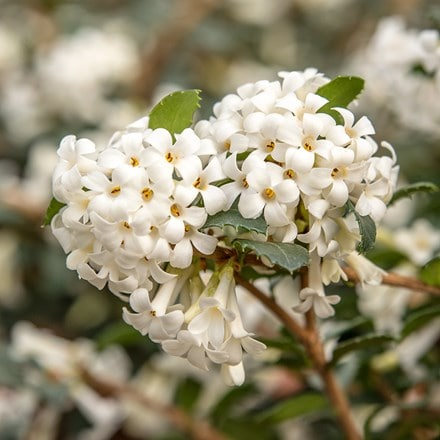 Osmanthus Perfume of Nature