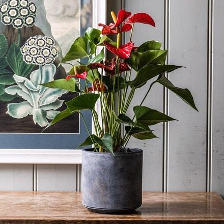 Anthurium Red Champion ('Anthbnena') (PBR)