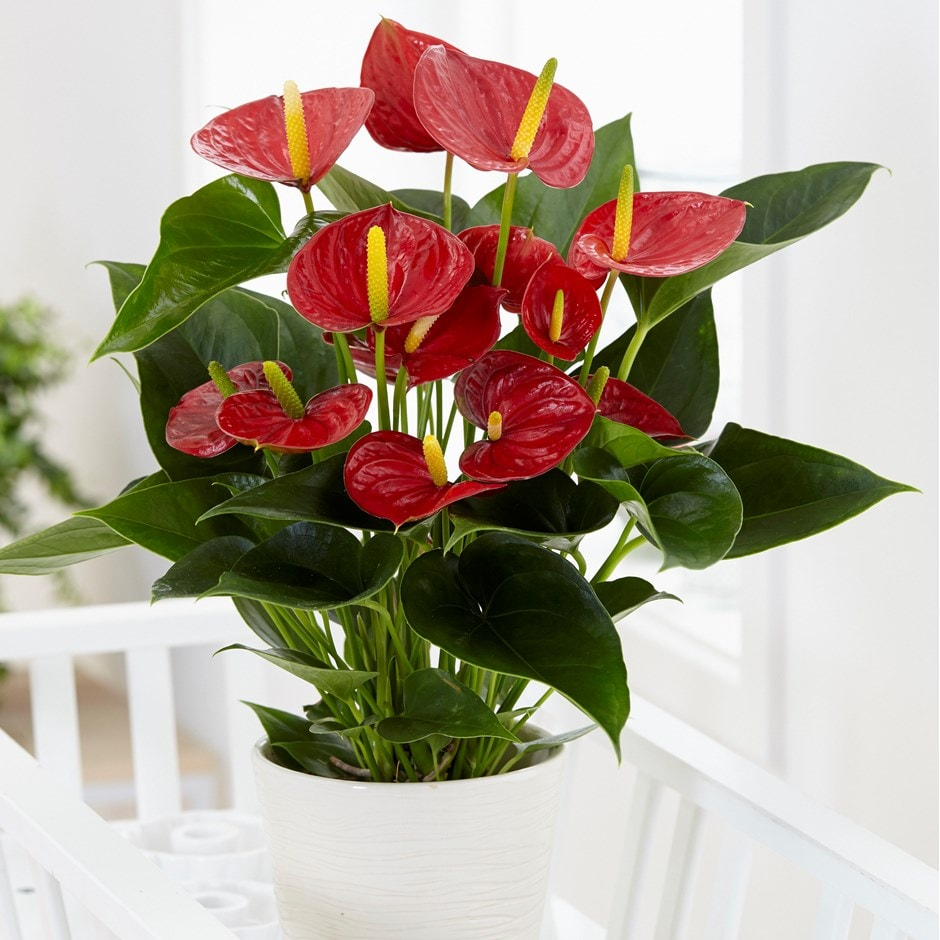 Buy Flamingo Flower Anthurium Andraeanum Group Red Champion Anthbnena Pbr 22 99 Delivery By Crocus