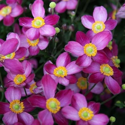 Anemone × hybrida Pretty Lady Susan (Lady Series)