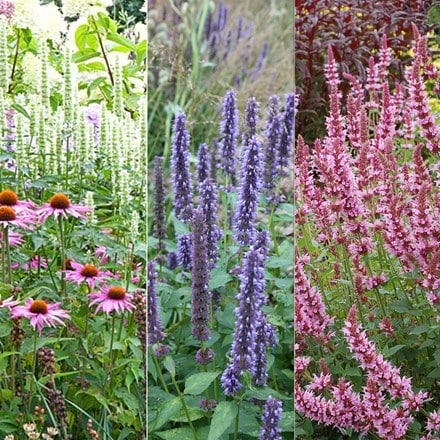Agastache collection