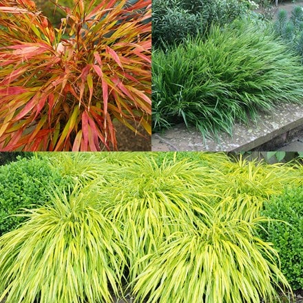 Hakonechloa collection