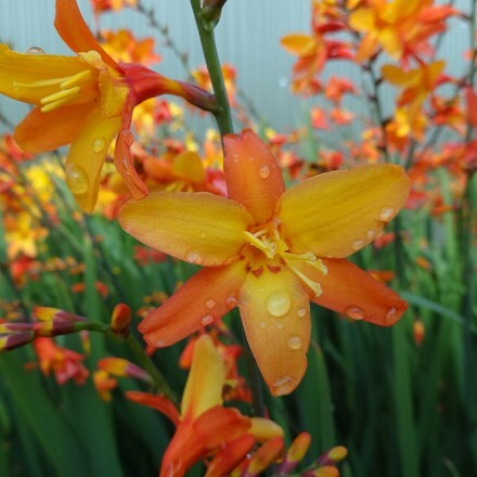Crocosmia Orange Pekoe ('Pek Or') (PBR)