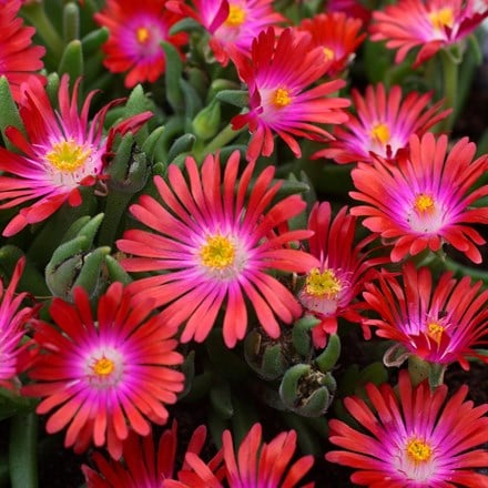 Delosperma cooperi Jewel of Desert Garnet (PBR) (Jewel of Desert Series)
