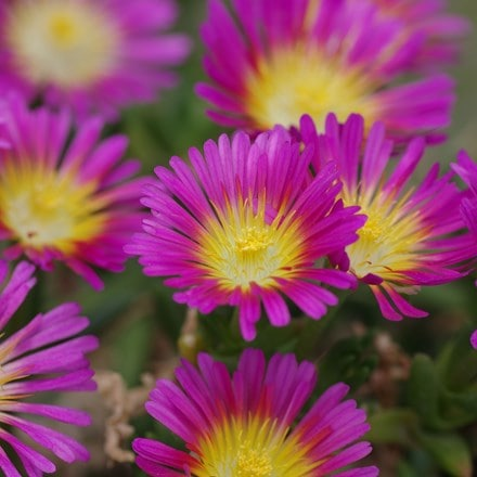 Delosperma nubigenum Hot Pink Wonder ('Wowdry1')  (PBR) (Wheels of Wonder Series)
