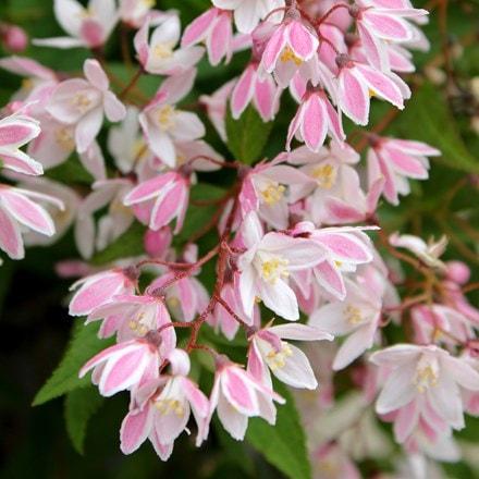 Deutzia x rosea Yuki Cherry Blossom ('Ncdx2') (PBR)