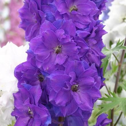 Delphinium Pagan Purples (New Millennium Series)