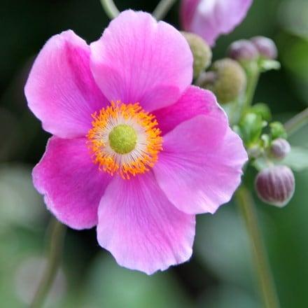 Anemone hupehensis Bowles's Pink