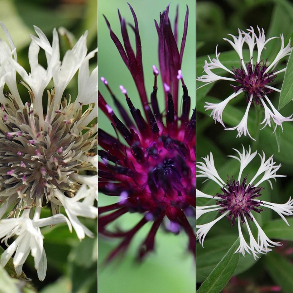 Buy Perennial Cornflower Collection Centaurea Collection 1499
