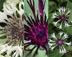 perennial cornflower collection