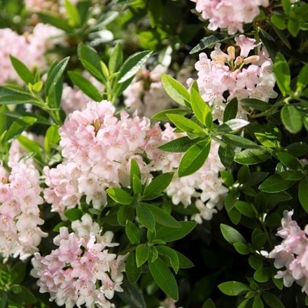Rhododendron Bloombux ('Microhirs3') (PBR)