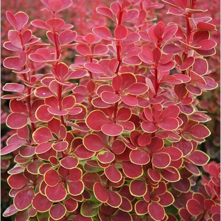 Berberis thunbergii Orange Sunrise (PBR)