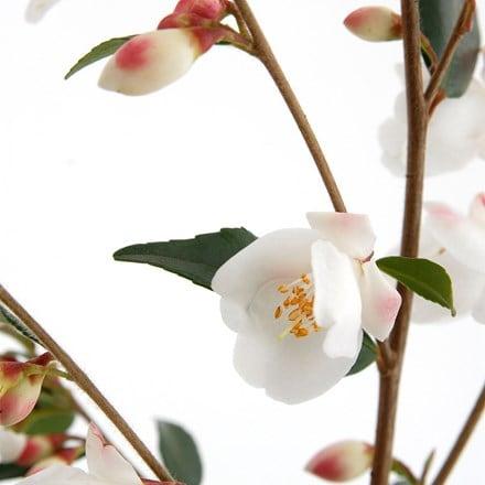 Camellia rosthorniana Cupido ('Elina') (PBR)