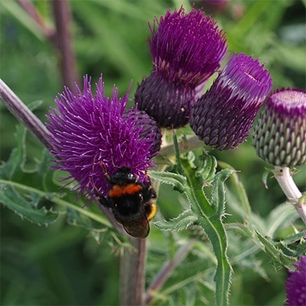 Cirsium rivulare Trevors Felley Find (PBR)