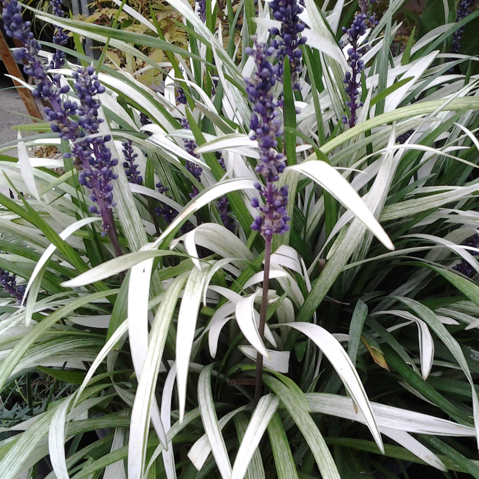 Buy Lily Turf Liriope Muscari Okina Pbr 899 Delivery By Crocus