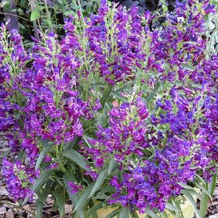 Penstemon Purple Perfection ('Pmoore14') (PBR)