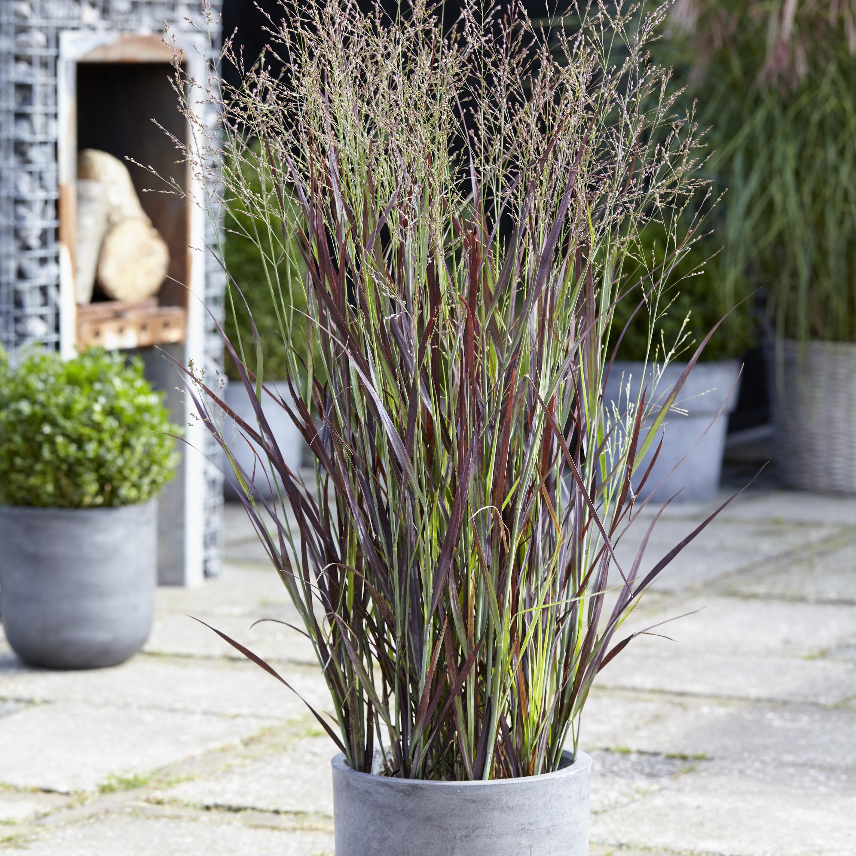 buy switch grass panicum virgatum purple breeze   u0026 39 joz276