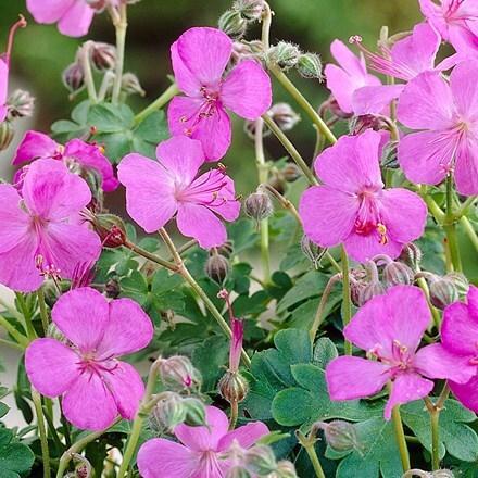 Geranium × cantabrigiense Westray (PBR)