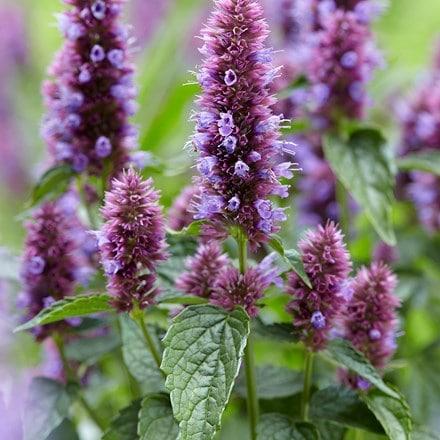 Agastache Beelicious Purple ('Agapd') (PBR)
