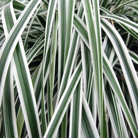 Carex oshimensis Everest ('Fiwhite') (PBR)