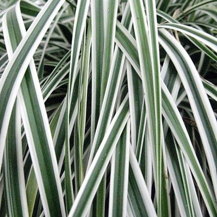 Carex oshimensis Everest ('Fiwhite') (PBR)