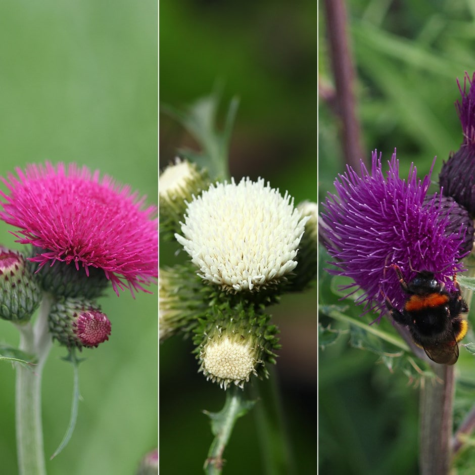 cirsium collection